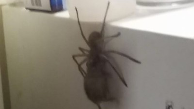 Are You Bad Enough to Beat this Australian Hyper-Spider in a Fight?