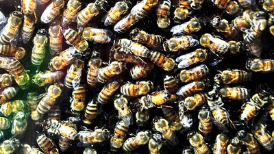 Bees Are Officially Endangered Now