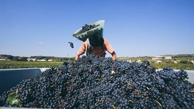 Making Pinot Noir Requires Back-Breaking Work