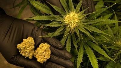 Τα Αμερικανικά Έγγραφα που Αποκαλύπτουν Γιατί Απορρίφθηκε η Ιατρική Χρήση της Μαριχουάνας