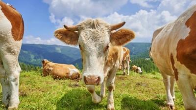 Junge spielt Star Trek, dann sind 30 Kühe tot