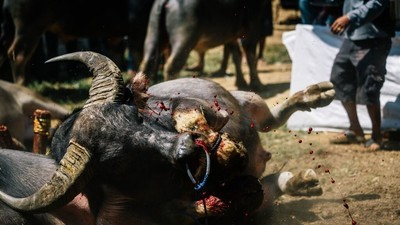 Sangue Real: os rituais indonésios de sacrifício, morte e dinheiro