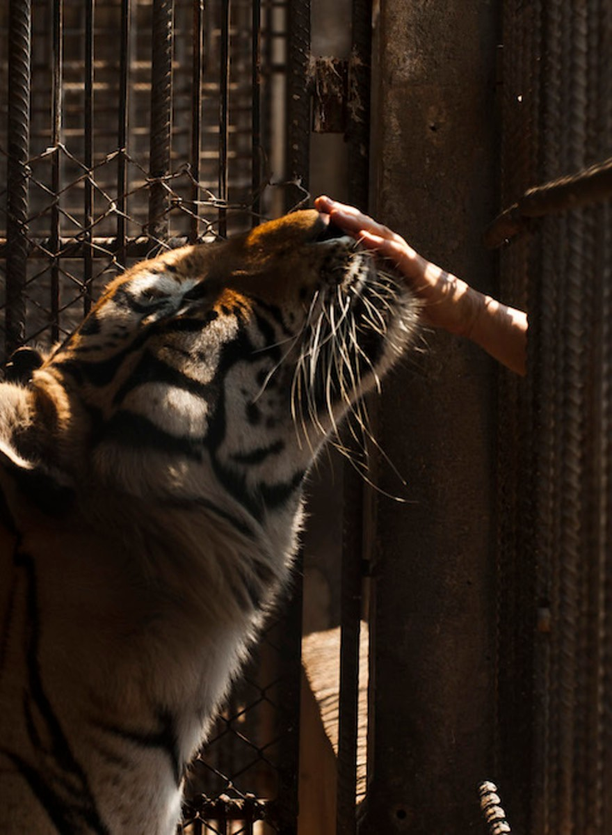 The Story of the Thai Tiger Sanctuary Busted With a Freezer Full of Dead Tigers