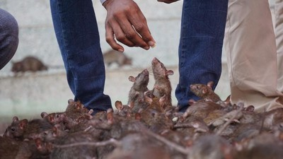 Inside India's Temple of Holy Rats