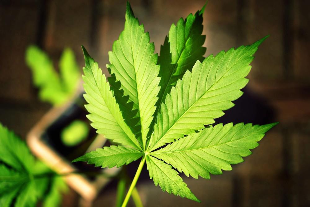 wunder von der weser cannabis eigenbedarf soll in bremen legal werden vice deutschland. Black Bedroom Furniture Sets. Home Design Ideas