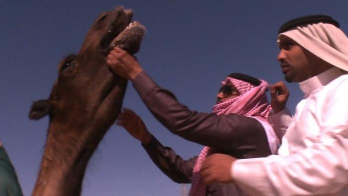 The Miss Camel Beauty Contest