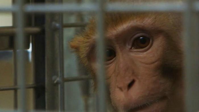Πειράματα σε Zώα: Μπήκαμε σε ένα Εργαστήριο Πιθήκων