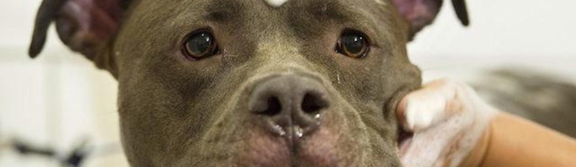 Why Pitbull Bans Are Bullshit