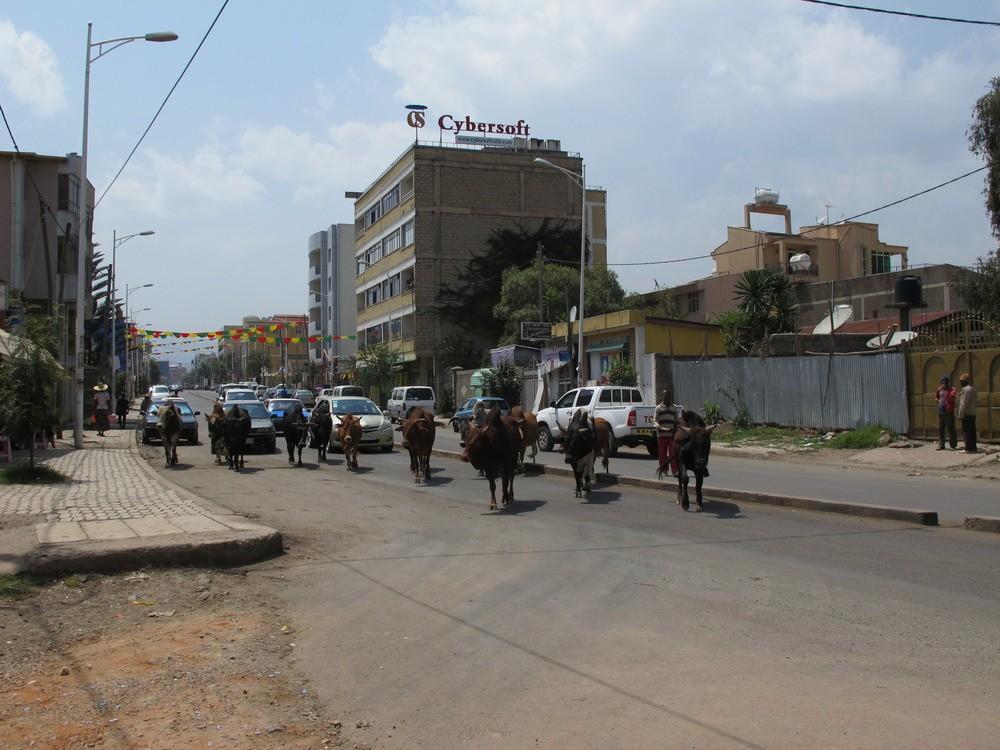 Στο κέντρο της πόλης οι αγελάδες συνυπάρχουν με τα αυτοκίνητα