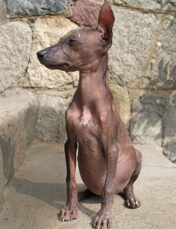 "Santiago Stelley, <a href=""http://www.vice.com/en_uk/the-cute-show/peruvian-hairless-dogs"" target=""blank"">The Cute Show: Peruvian Hairless Dogs!</a>"