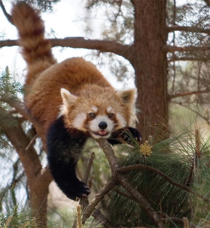 "Justin Kiersky, <a href=""http://www.vice.com/en_uk/the-cute-show/red-pandas--2"" target=""blank"">Red Pandas</a>"