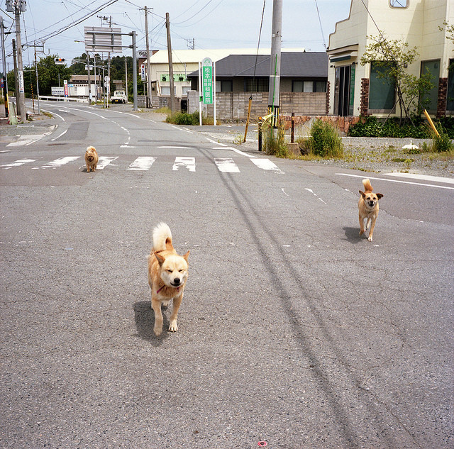 Stray dogs in downtown Namie.
