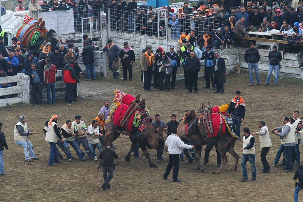 Once a clear winner has emerged, or when the ten-minute time limit expires, handlers pull the wrestlers away from each other to avoid injuries to the animals.