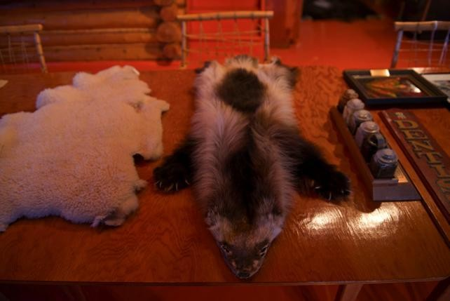 A wolverine pelt is displayed in Bern Will Brown's museum.