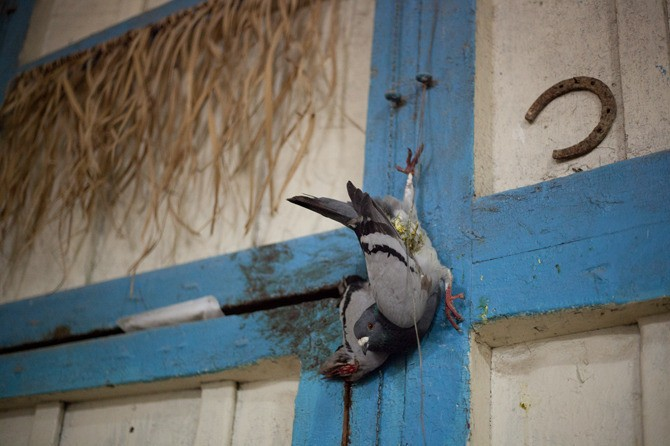 Santería is not regarded as an official religion by the state and therefore has no official places of worship; the ceremonies are carried out in the houses of the santeros. Various charms represent luck and protection. This pigeon was hanging above the door throughout the ritual, which lasts several days.